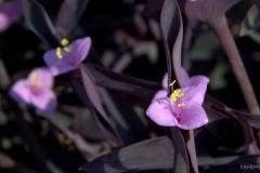 Violette-Schönheit